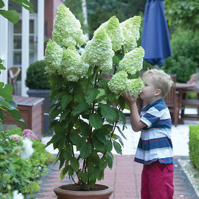 Hydrangea Hardy Shrub Garden Plant Paniculata Magical Moonlight in 9cm Pots T&M