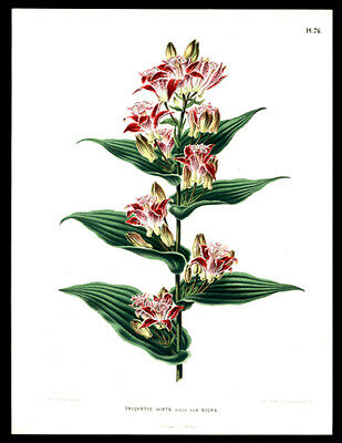 Henrik Witte & G Severeyns Chromolithograph The Toad Lily Botany Horticulture
