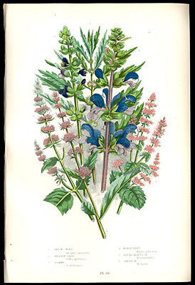 Meadow Sage Spearmint Wildflowers 1905 Anne Pratt Chromolithograph Horticulture