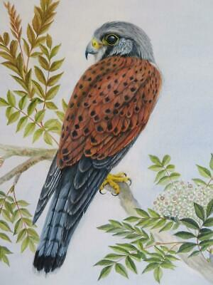 really old PAINTING water colour KESTREL signed