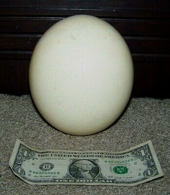 """Empty 15 1/2"""" Circumference Large Ostrich Egg For Crafts Display Art"""