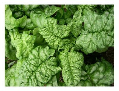 Spinach Bloomsdale Long Standing 600 Seeds