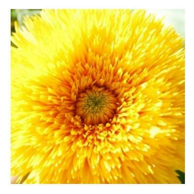 Organic Flower Sunflower Sungold Dwarf 40 Seeds