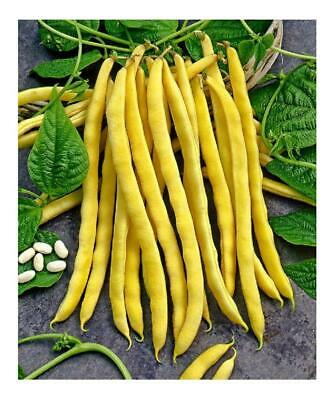 Climbing Yellow Bean Neckargold 100 Seeds