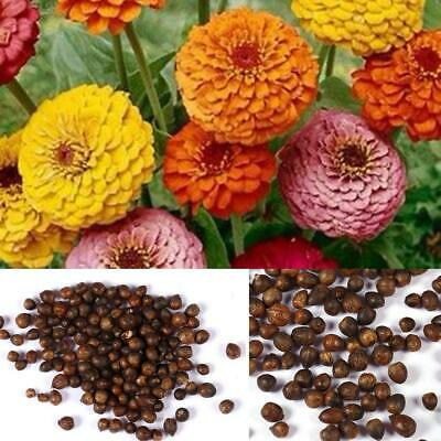 50 Seeds New Pastel Colors Zinnia Elegans Lilliput Mix Seeds Zinnia ILOE 01
