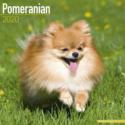Pomeranian - Dogs -  Art Wall Calendar 2020