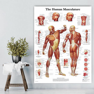 Human Body Muscle Anatomy System Anatomical Chart Educational Poster Useful HOT