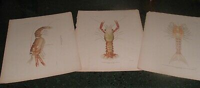 3 Antique 110 Years old Authentic Lobster A. Hoen Baltimore Lithograph Prints