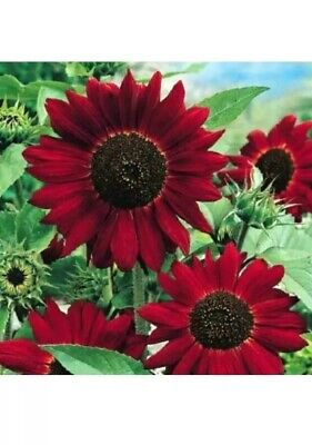 Red Giant Sunflower - Red Sun - Helianthus Annuus - 80 High Quality Seeds