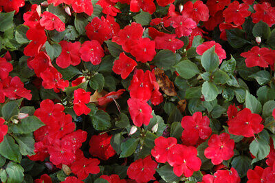 Busy Lizzie - Baby Series Scarlet - 240 Seeds - Impatiens Walleriana - Top Flowe