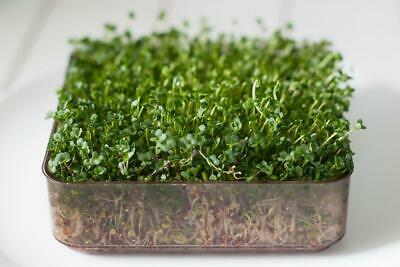 Organic Sprouting / Microgreen Seeds - Broccoli Calabrese - 200 Gram