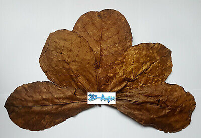 Premium Very Large Sundried Indian Almond Leaves (Catappa) approx 9 - 11 inches
