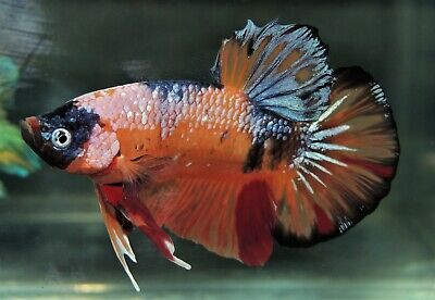 LIVE GIANT ZORO Fancy Koi Halfmoon Plakat Male Betta Fish