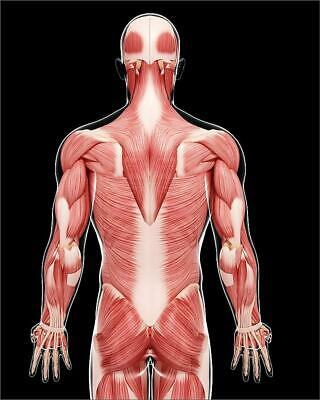 "9269473 10""x8"" (25x20cm) Print of Human musculature, artwork"