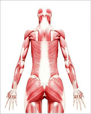 "9268951 10""x8"" (25x20cm) Print of Human musculature, artwork"