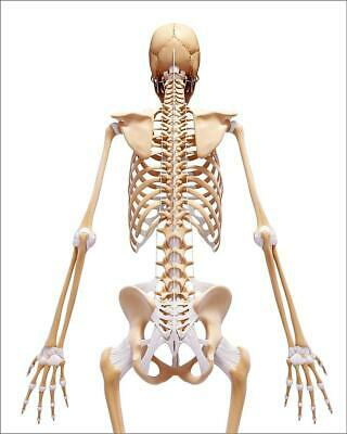 "9267625 10""x8"" (25x20cm) Print of Human skeleton, artwork"