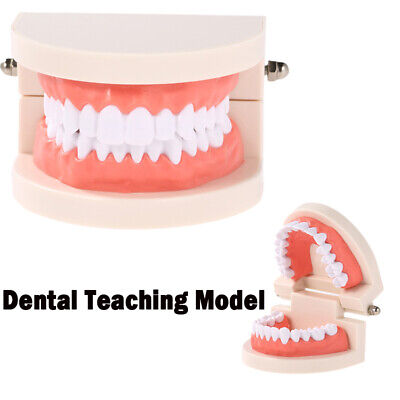 Dental Teaching Adults Standard Study Typodont Tooth Demonstration Teeth Model