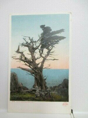 Nice Old Postcard, Witch Tree, In Monterey, California, Ca, Calif, Not Posted