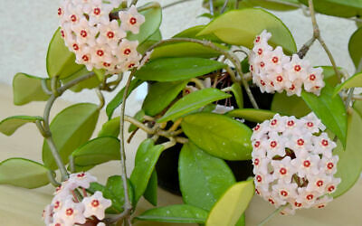 """HOYA CURTISII /'FUNG WAX FLOWER/':LIVE  PLANTS 4-8/"""" VINES SHIP IN 4/"""" HANGING POT!"""