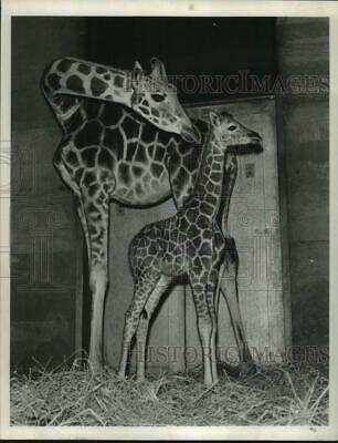 1965 Press Photo Fabiola the giraffe with its baby at San Francisco Zoo