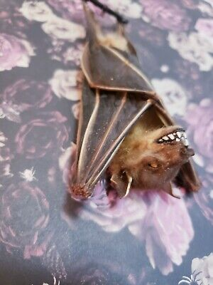 Taxidermy Hanging Bat With Fangs