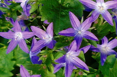 Campanula glomerata /'Superba/' Superba Clustered Bellflower Quart Pot