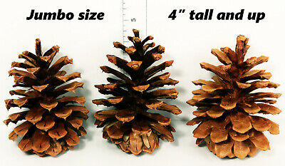"Lot of 50 - Oregon PONDEROSA Pine Cones Organic Natural JUMBO SIZE 4"" or taller"