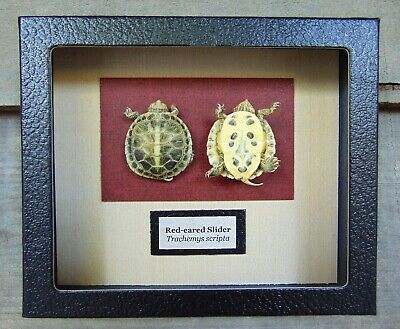 E512) Real Taxidermy Red-eared Slider Turtle Hatchling 5 X 6 framed display USA