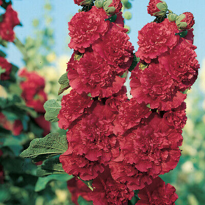 Perennial Flower Hollyhock Chaters Scarlet Red 110 Seed