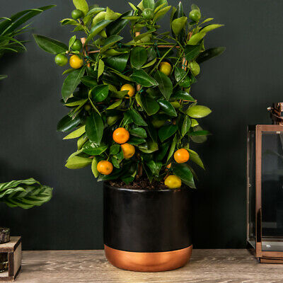 Lemon Tree Fruit Bush Citrus Plant Dwarf Citrus x Limon Meyer in 9cm Pots T/&M