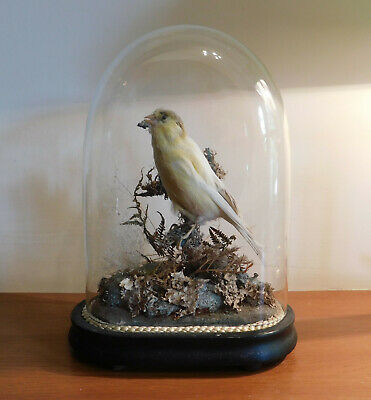 Taxidermy Bird In Glass Dome