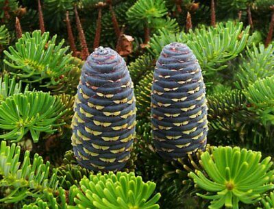 Abies Koreana Korean Fir Young Plant 9cm Pot Evergreen Hardy Purple Blue Cones