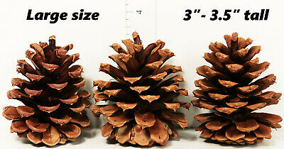 "Lot of 25 - Oregon Ponderosa Pine Cones Large Size Organic Natural 3"" - 3.5"" New"