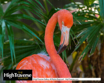 Flamingo Up Close Tropical Bird-Color Fine Art Photo-8x10-COA-SIGNED