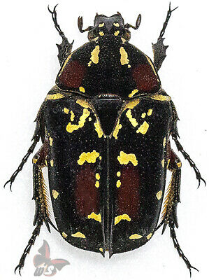Green from Philippines Taxidermy Insect Beetle Heterorrhina sp