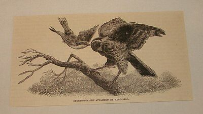 1886 magazine engraving ~ SPARROW HAWK ATTACKED BY KING BIRD