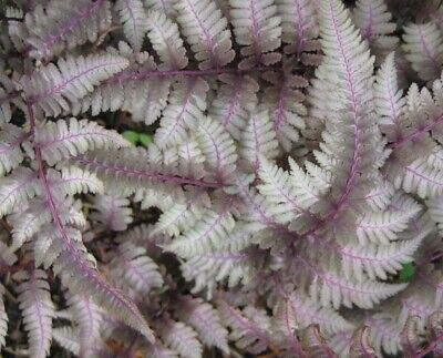 Athyrium niponicum Pewter Lace Fern Young Plant 9cm Pot Full to Part Shade