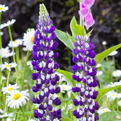 Lupin /'Gallery Mixed/' Large Plug Plant Hardy Perennial Lupine 42mm Peat Plug