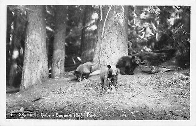 # A028   Sequoia  National Park  Real  Photo   Postcard,  Bears
