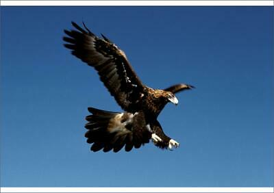 A1 (84x59cm) Poster of Wedge-tailed eagle in flight from