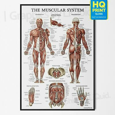 Human Muscle Anatomy Muscular Chart Biology Science Education Poster *Laminate*