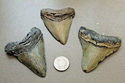 MEGALODON Fossil Giant Shark Teeth All Natural Large LOT OF 3 BEAUTIFUL TEETH