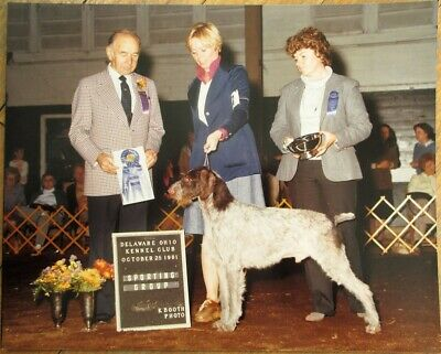 German Wirehaired Pointer 1981 Champion Dog Show 8x10 Photograph - Delaware, OH