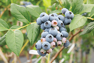 Blueberry Fruit Plant Hardy Deciduous Shrub 'Powder Blue' 9cm Pots Delicious T&M
