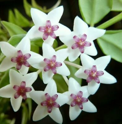 Hoya Bella Plant -  Makes beautiful fragrant flowers - Wax Plant