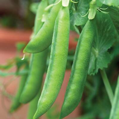 400 Seeds Mr Fothergills Vegetable Pea Hurst Green Shaft