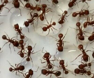 30 Live Red Harvester Ants Plus A Few Extra - Ant Farm Refill