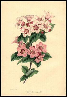 Wine Roses Original 1848 Paxton Hand-Colored Lithograph Botany Horticulture