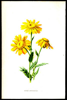 1897 F. Edward Hulme Lithograph Wild Flowers Corn - Marigold Horticulture Plants