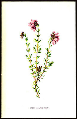 Cross-Leaved Heath  1897 F. Edward Hulme Lithograph Wild Flowers Horticulture